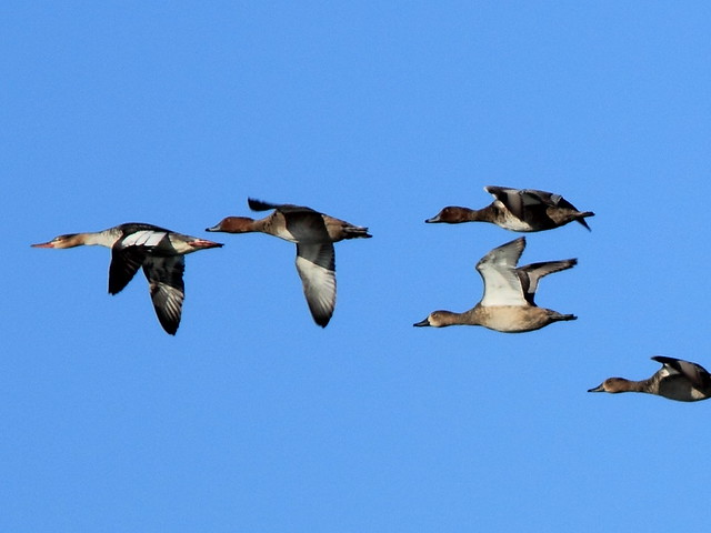 Ducks in flight Merganser 20141012
