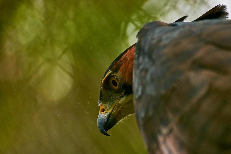 Ornate Hawk-Eagle - Belize