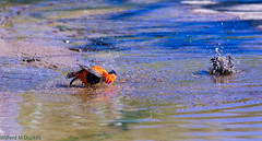 duck(0.0), muskrat(0.0), animal(1.0), water bird(1.0), fauna(1.0), waterfowl(1.0), reflection(1.0), bird(1.0), wildlife(1.0),