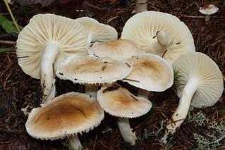 Hygrophorus secretanii, / Hygrophorus monticola / Hygrophore de montagne / Hygrophore de secretan