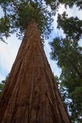 Giant Sequoia 8