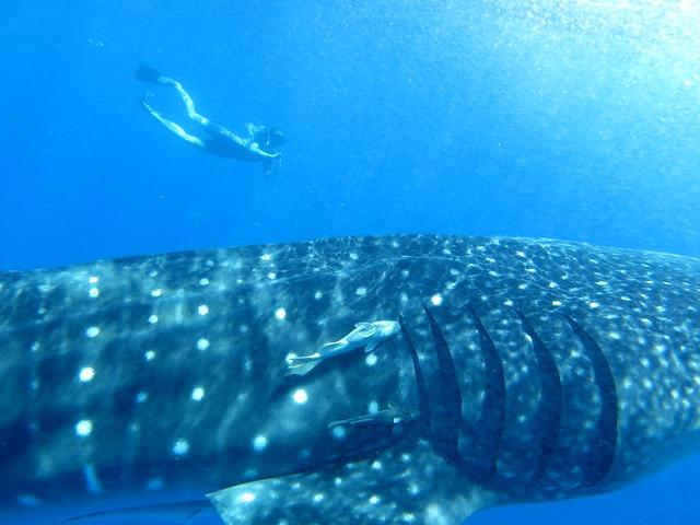 Whale Sharks 132