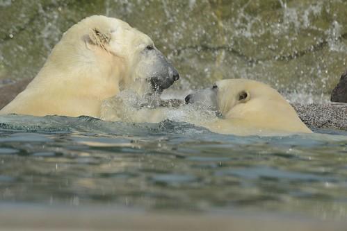 Eisbären Vicks und Sesi  im im Parc zoologique et botanique de Mulhouse