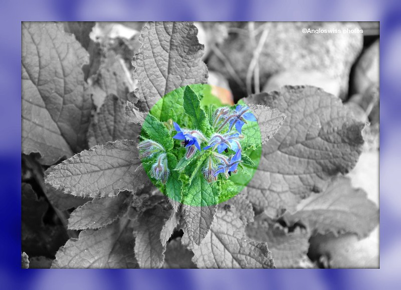 October borage