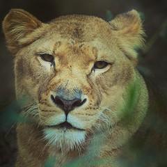 Purrr #AmazingNature #BeALion #Eyes #Wild #Africa
