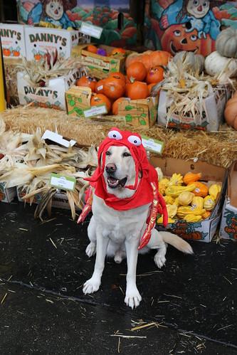 Halloween Lobster Dog