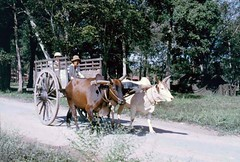 donkey(0.0), mule(0.0), mare(0.0), pack animal(0.0), horse harness(0.0), horse and buggy(0.0), carriage(0.0), cattle-like mammal(1.0), vehicle(1.0), ox(1.0), cattle(1.0), cart(1.0),