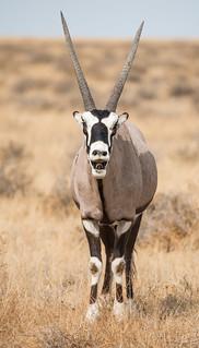 Namibian Oryx - Gemsbok
