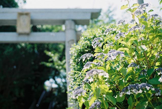 紫陽花 (Ajisai: Hydrangea)
