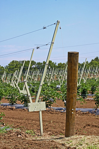 The Rotating Cross-Arm Trellis, on the market with the help of an SBIR loan, has helped expand blackberry growing. Photo courtesy of Trellis Growing Systems LLC.
