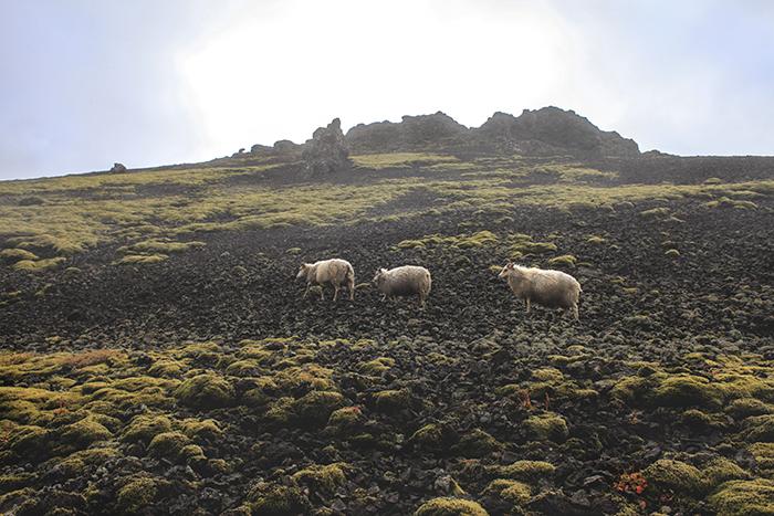 Iceland_Spiegeleule_August2014 100