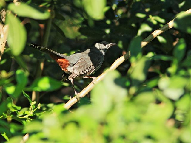 Gray Catbird 20141031