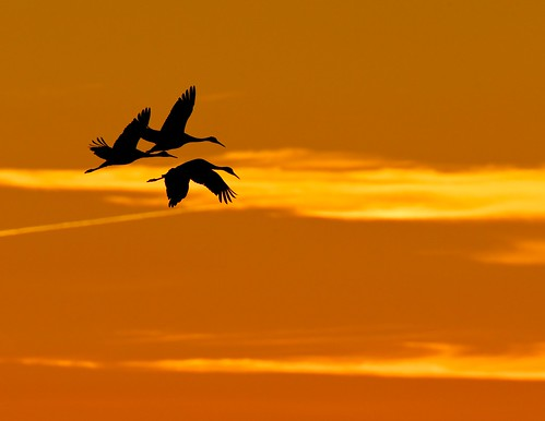 indiana cranes migration sandhillcranes migratorybirds indianawildlife indianasandhillcranes jasperpulaskiwildlifereserve