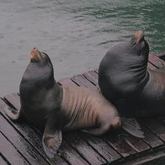animal, seals, sea lion, marine mammal, fauna,