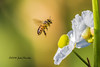 The Honey Bee and the flower