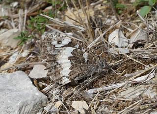 Great Banded Grayling (Brintesia circe)
