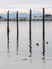 Cormorants at Oak Harbour