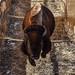 2016 Bison Roundup - Rocky Mountain Arsenal Nat'l Wildlife Refuge
