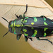 Buprestidae, Chrysobothris sp. (Jewel Beetle) by Bruno Garcia Alvares