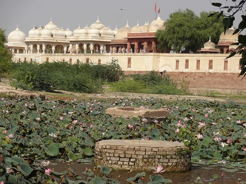 Kalyansagar pond is now a marshy land hosting a herd of lotus plants.
