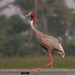 uttampegu posted a photo:	Sarus Crane in Udaipur