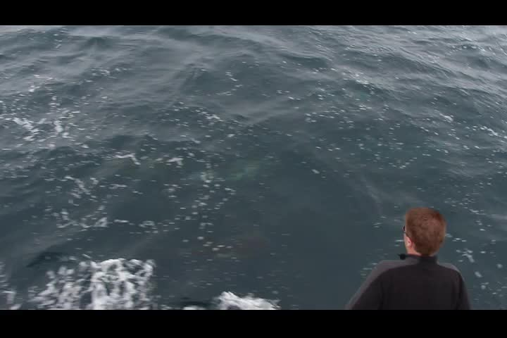 0099 Video of a Dolphin Pod in the Santa Barbara Channel near Santa Cruz Island