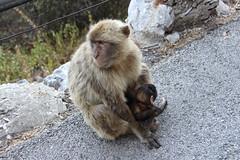 marmoset(0.0), japanese macaque(0.0), animal(1.0), monkey(1.0), mammal(1.0), fauna(1.0), old world monkey(1.0), new world monkey(1.0), macaque(1.0), wildlife(1.0),
