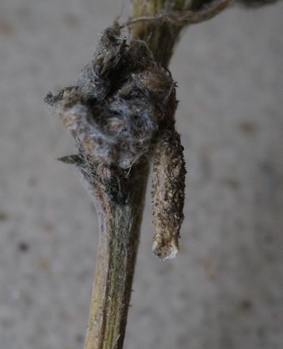 Coleophora argentula