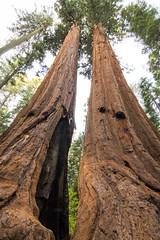 Giant Sequoia 6