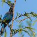 Starling Jays