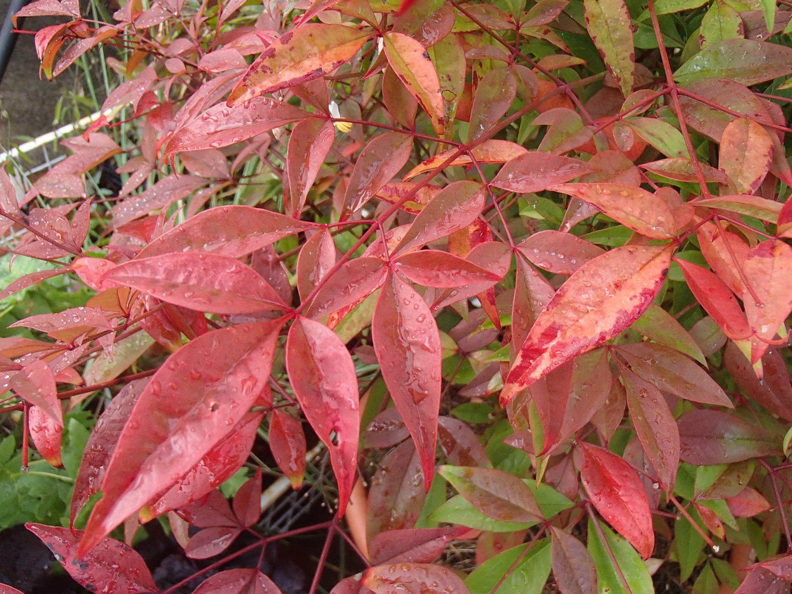 autumnal-nandina-domestica