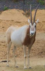 animal, antelope, gemsbok, mammal, horn, fauna, oryx, gazelle, wildlife,