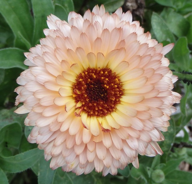a peach-colored calendula