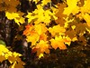Cranbrook Campus: Yellow Maple Leaves