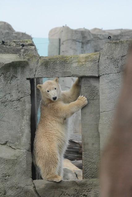 Eisbärin Lale im Zoo am Meer