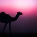 Wild Camel by Sonu Nair