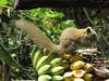 grey-bellied-squirrel
