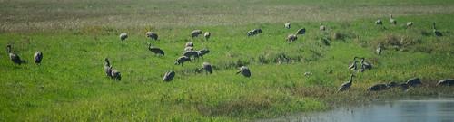 flock sandhillcrane ridgefield birdfest