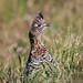 Ruffed Grouse by Turk Images