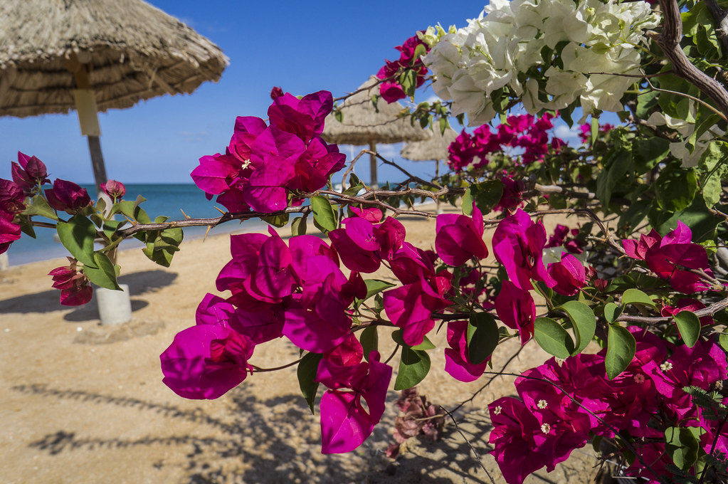 Bougainvilleas at the beach
