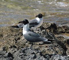 Leucophaeus atricilla (laughing gulls)