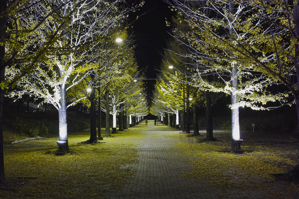 lined gingko biloba trees-2