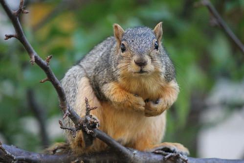 134/365/2325 (October 23, 2014) - Squirrels at the University of Michigan (October 23, 2014) - Explored!