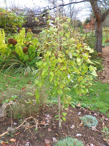 Weeping pussy willow std. 'Salix Caprea 'pendula''