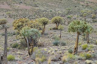 Aloe dichotoma アロエ ディコトマ (=Aloidendron dichotomum)