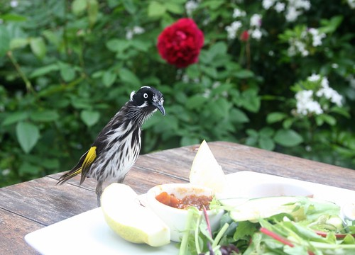 The Berry Farm: New Holland Honeyeater