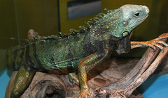 animal, reptile, lizard, fauna, african chameleon, iguana, agamidae, scaled reptile, chameleon,