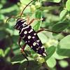 Placosternus crinicornis