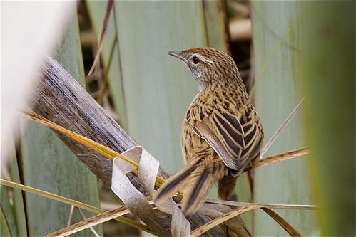 newzealand bird nature canon wildlife southisland otago matata sinclairwetlands bowdleriapunctatapunctata southislandfernbird