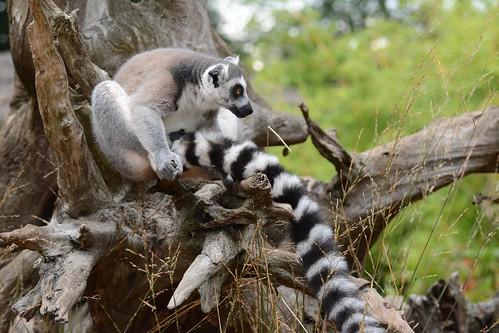 Katta im Zoo de La Flèche